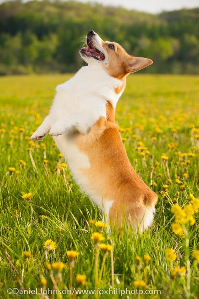Pembroke Welsh Corgi outdoors, yellow flowers, jumping up