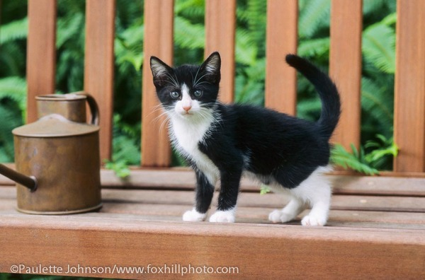 Black and white Tuxedo colored kitten outdoors on bench