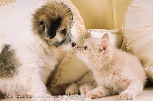 Maltese mix puppy nose to nose with kitten