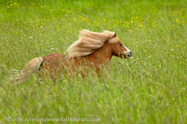 Miniature Horse running in field