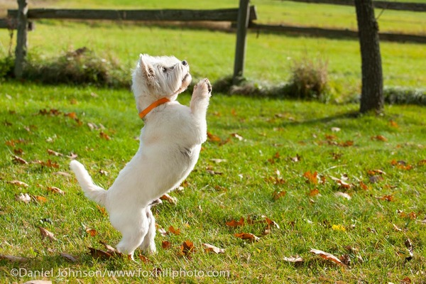 West Highland Terrier jumping up