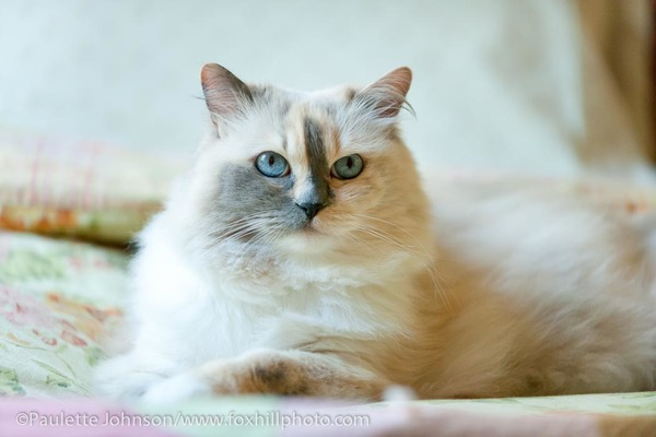 Blue/Cream Tortie Point Mitted Ragdoll cat laying on bed