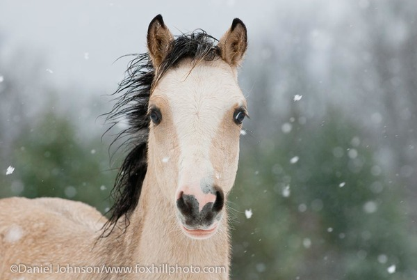 Five-month-old buckskin foal, with a wet mane from the melting snow.