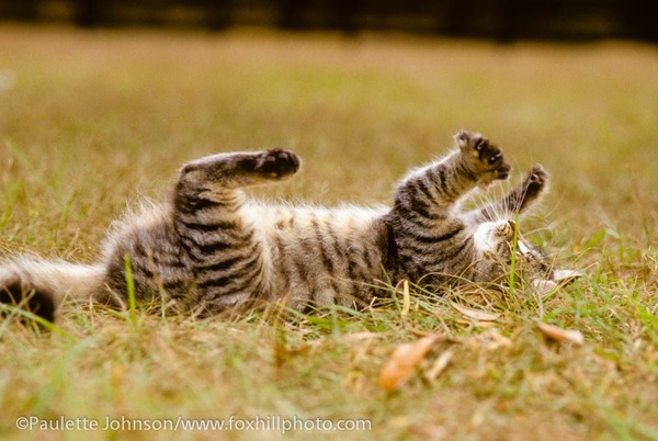 Cat laying in grass playing