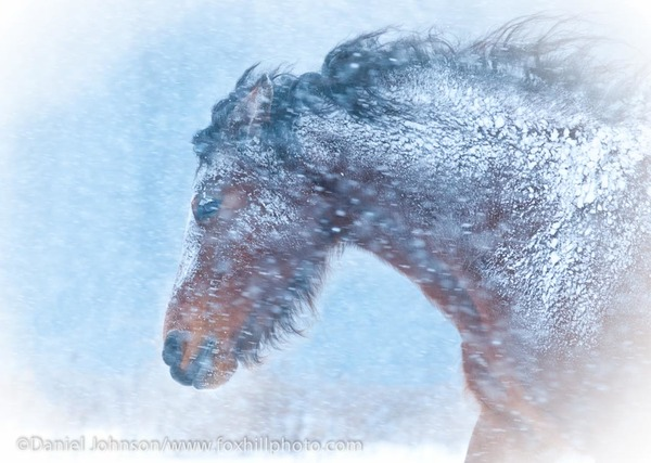 Welsh Cob in snow