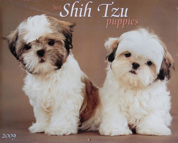 Shih Tzu Puppies calendar - cover image
