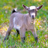 Baby Pygmy goat outdoors in grass