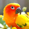 Sun Conure with flowers