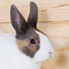 Face portraits of Tort Dtuch rabbits