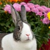 Grey Dutch rabbit outdoors with flowers