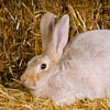 Large rabbit breed: Creme d'Argent rabbit, doe, portrait
