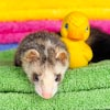 Ferret laying on colorful towels
