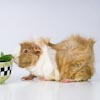 Guinea Pig looking at bowl of vegetables.