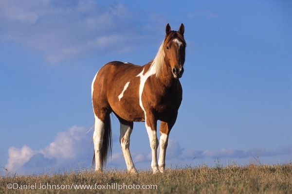 Sorrel tobiano Paint gelding standing on a hill against blue sky.