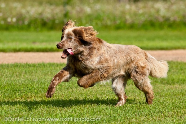 Deutscher Wachtelhund dog, playing/running