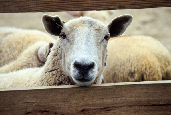 Sheep looking through fence