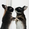 Netherland Dwarf, 4 months old, looking at reflection in mirror